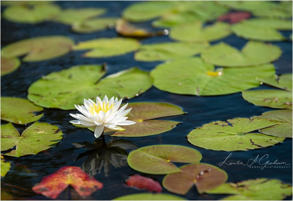 waterlilies-lake-paul-b-johnson-state-park-sunrise-fog_0001 Blooming Waterlilies | Traveling Landscape Photographer Adventure Editorial Personal