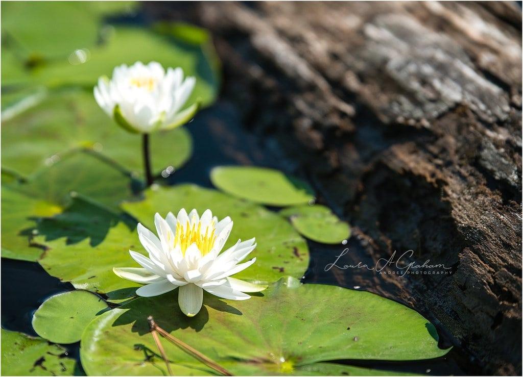 waterlilies-lake-paul-b-johnson-state-park-sunrise-fog_0002 Blooming Waterlilies | Traveling Landscape Photographer Adventure Editorial Personal