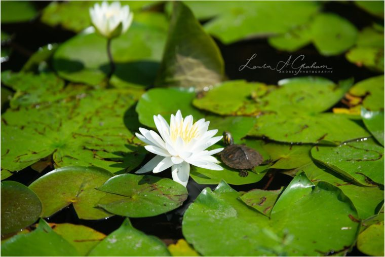 Blooming Waterlilies | Traveling Landscape Photographer