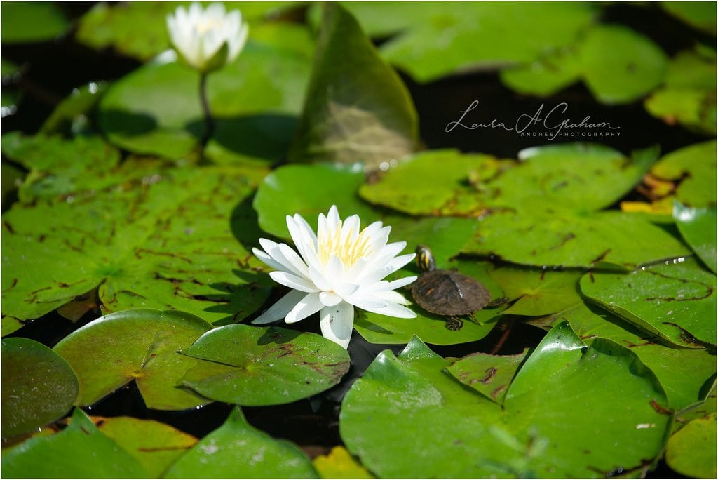 lake with green bed of blooming white waterlilies with tiny turtle