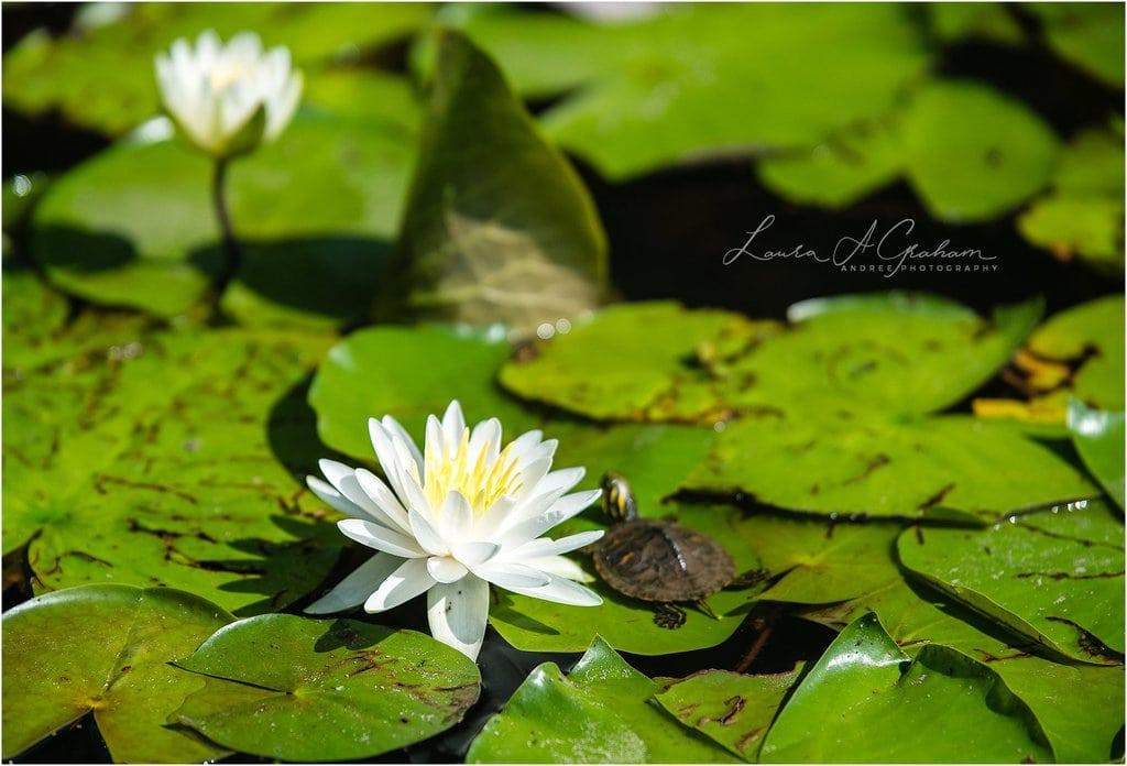 waterlilies-lake-paul-b-johnson-state-park-sunrise-fog_0005 Blooming Waterlilies | Traveling Landscape Photographer Adventure Editorial Personal