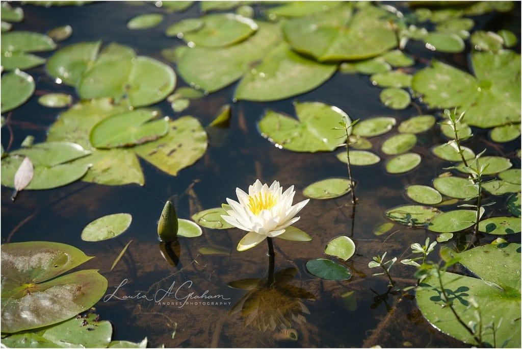 waterlilies-lake-paul-b-johnson-state-park-sunrise-fog_0006 Blooming Waterlilies | Traveling Landscape Photographer Adventure Editorial Personal