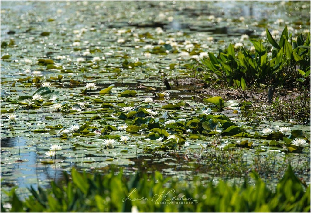 waterlilies-lake-paul-b-johnson-state-park-sunrise-fog_0010 Blooming Waterlilies | Traveling Landscape Photographer Adventure Editorial Personal