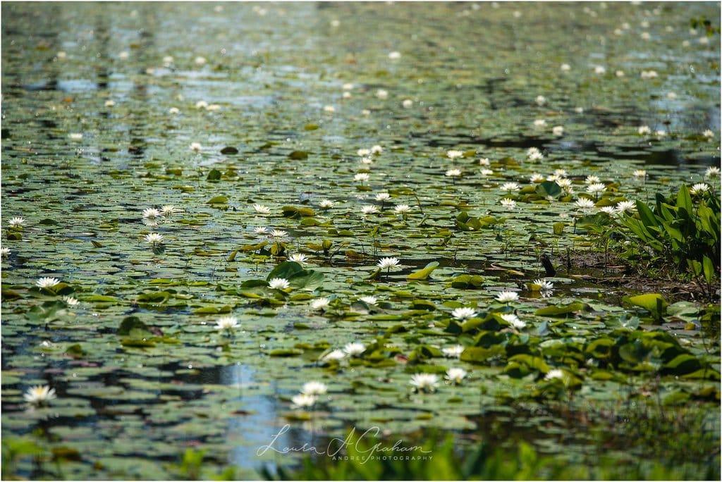 waterlilies-lake-paul-b-johnson-state-park-sunrise-fog_0012 Blooming Waterlilies | Traveling Landscape Photographer Adventure Editorial Personal