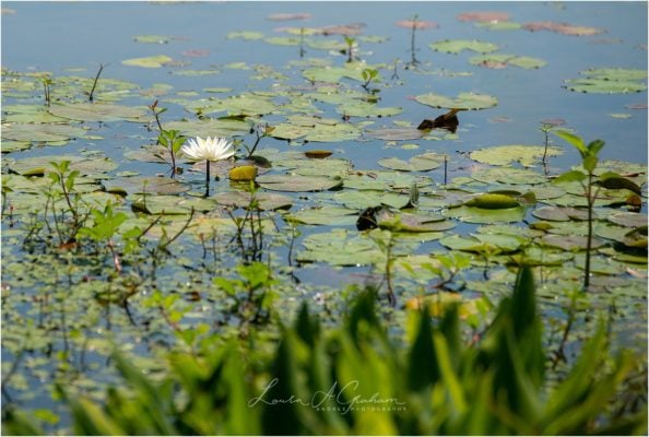 waterlilies-lake-paul-b-johnson-state-park-sunrise-fog_0013-594x400 Blooming Waterlilies | Traveling Landscape Photographer Adventure Editorial Life Personal