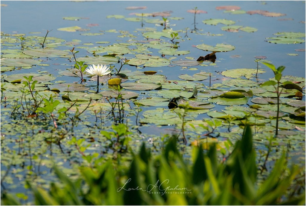 waterlilies-lake-paul-b-johnson-state-park-sunrise-fog_0013 Blooming Waterlilies | Traveling Landscape Photographer Adventure Editorial Personal